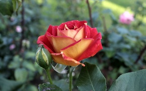Picture macro, red, yellow, rose