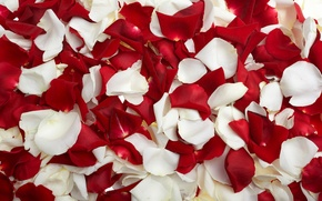 Picture rose, petals, red, white