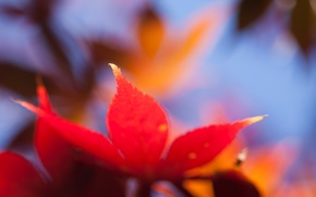 Picture macro, orange, bright, sheet, Autumn, blur, maple
