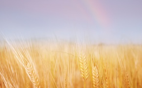 Picture wheat, field, summer, nature, gold
