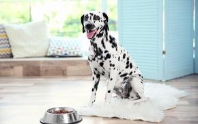 Picture dog, Dalmatian, dog, dalmatian