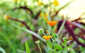 Picture greens, flower, summer, grass, orange, calendula