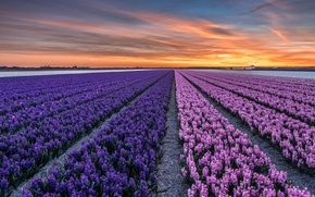 Picture field, sunset, flowers, the evening, town, Netherlands, province, North Holland, Callantsoog