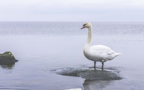 Picture sea, water, stay, Swan