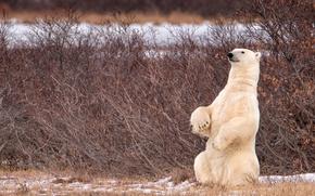 Picture bear, Canada, Canada, polar bear, the bushes, stand, polar bear, Manitoba, Manitoba