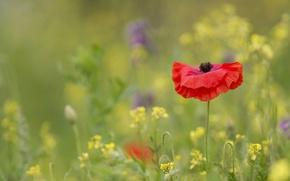 Picture field, flower, flowers, red, Mac