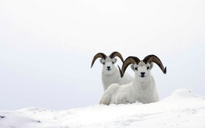 Wallpaper white, snow, mountain ram, mountain sheep, sheep
