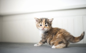 Picture baby, kitty, Maine Coon