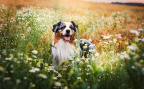 Picture field, flowers, dog, Wallpaper from lolita777, Aussie