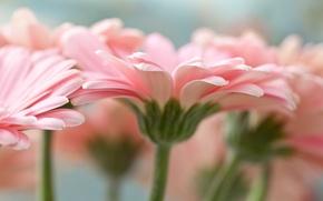 Picture macro, flowers, petals, pink, gerbera