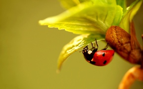 Picture leaves, plant, ladybug, beetle, insect