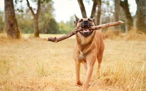 Picture background, dog, stick