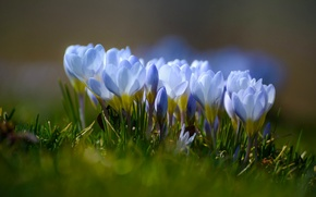 Picture saffron, macro, crocuses, bokeh, spring