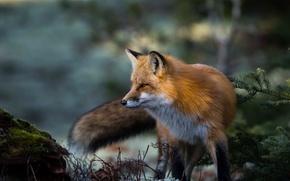 Picture Fox, red, krasava