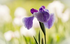 Picture leaves, background, lilac, iris