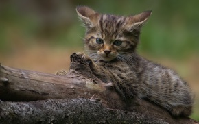 Picture look, log, kitty, wild cat, forest cat