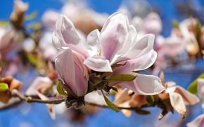 Picture flowers, spring, Magnolia, Tulip tree