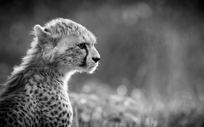 Picture black and white, predator, Cheetah, face, profile, wild cat, young