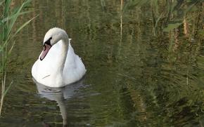 Picture water, lake, bird, reed, Swan, Akela White
