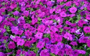 Picture carpet, texture, petals, Petunia
