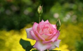 Wallpaper macro, rose, buds, bokeh