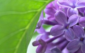 Picture macro, flowers, sheet, spring, Lilac