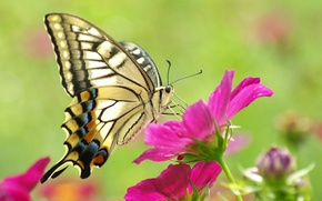Picture flower, macro, pink, butterfly, beautiful, yellow, butterfly, beauty, colorful