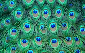 Picture colored, feathers, peacock