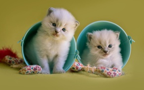 Picture cats, background, the game, toys, pair, kittens, fluffy, two, cuties, bucket, small, blue-eyed, buckets, ragdoll, …