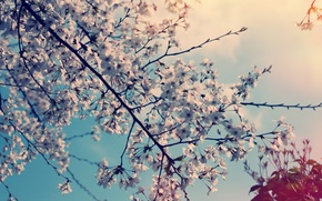 Picture flowers, nature, cherry, tree, spring
