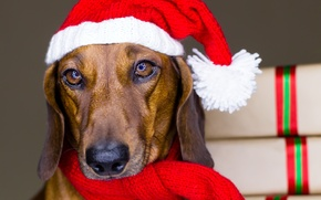 Picture animals, eyes, red, holiday, Shine, new year, dog, scarf, gifts, Dachshund, cap, Wallpaper from lolita777