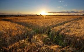 Picture field, landscape, sunset, ears
