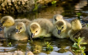 Picture water, kids, Chicks, the goslings