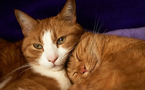 Picture cats, pair, red, sleep, lie