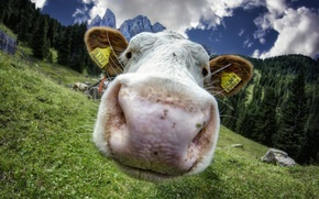 Picture face, macro, cow