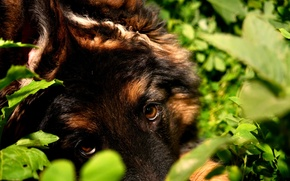Picture eyes, look, nature, dog, puppy, shepherd
