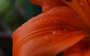 Wallpaper flowers, macro, Lily