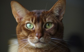 Picture eyes, look, background, Abyssinian cat