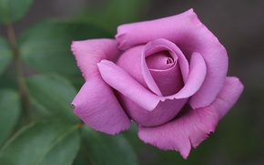 Picture macro, rose, Bud, purple