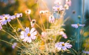 Picture summer, sunset, flowers, nature, summer, sunset, flowers