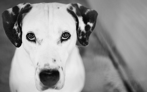 Picture black and white, look, Photography, Dalmatian