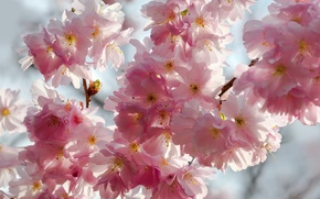 Wallpaper the sky, macro, flowers, branches, cherry, beauty, spring, petals, Sakura, gentle, pink, white, white, buds, ...