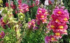 Picture photo, Flowers, Closeup, Snapdragons