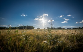 Picture wheat, field, the sky, the sun, clouds, trees, flowers, home, horizon, farm, wheat field