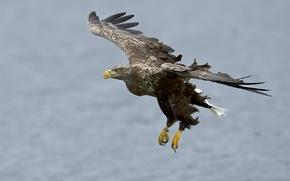 Picture bird, flight, eagle