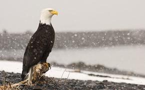 Picture snow, stones, bird, eagle, root, stump, bald eagle