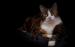 Picture cat, cat, look, portrait, tri-color
