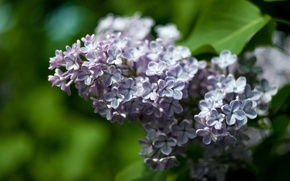 Picture leaves, spring, lilac
