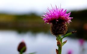 Picture flower, blur, stem, Thistle