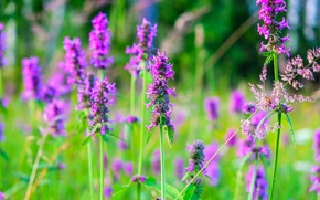 Picture field, summer, macro, landscape, flowers, nature, Russia, macro flowers, purple flowers, Russian field